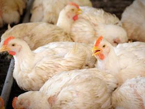 Existe la tendencia de colocar demasiadas aves en las casetas, lo que puede ser el origen de los problemas de tipo respiratorio