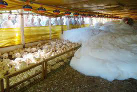 Uso de espuma con CO2 para sacrificar a los pollos en el galpón