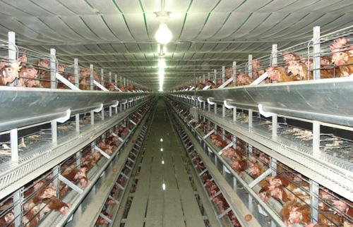Resultado de imagen para galpones de pollos
