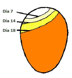 Cuidado E Incubacion De Los Huevos Fertiles El Sitio Avicola