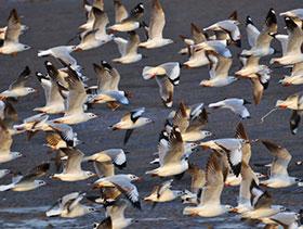 influenza aviar en aves silvestres, el sitio avicola
