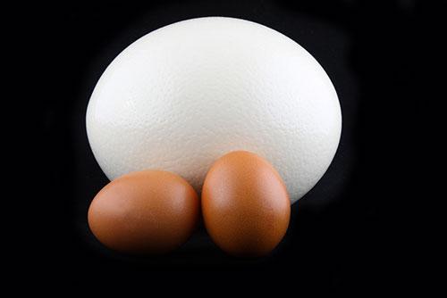 Huevo de avestruz y huevos de gallina