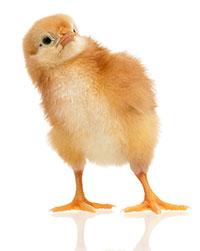 nutricion de pollos y pollitos-el sitio avicola