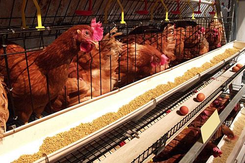 alimentacion para pollitos-el sitio avicola