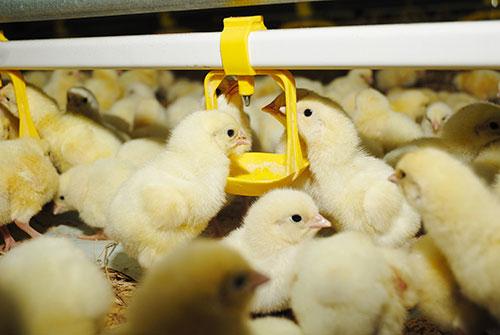 salud aviar-el sitio avicola-