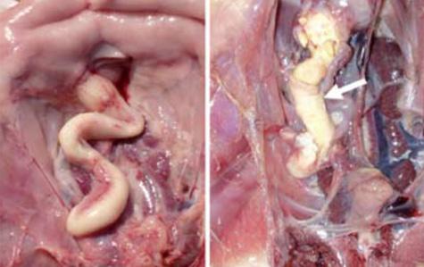 Infecciones por <em>Escherichia coli</em> - Enfermedades de las aves - El  Sitio Avicola