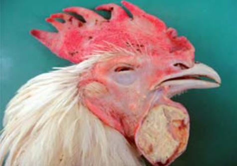 Resultado de imagen para gallinas y gallos con colera aviar