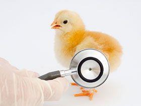 Resultado de imagen de sanidad avicola